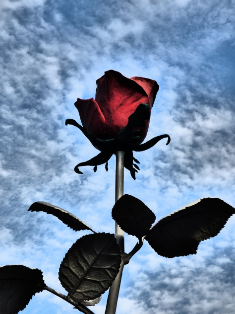 rose6